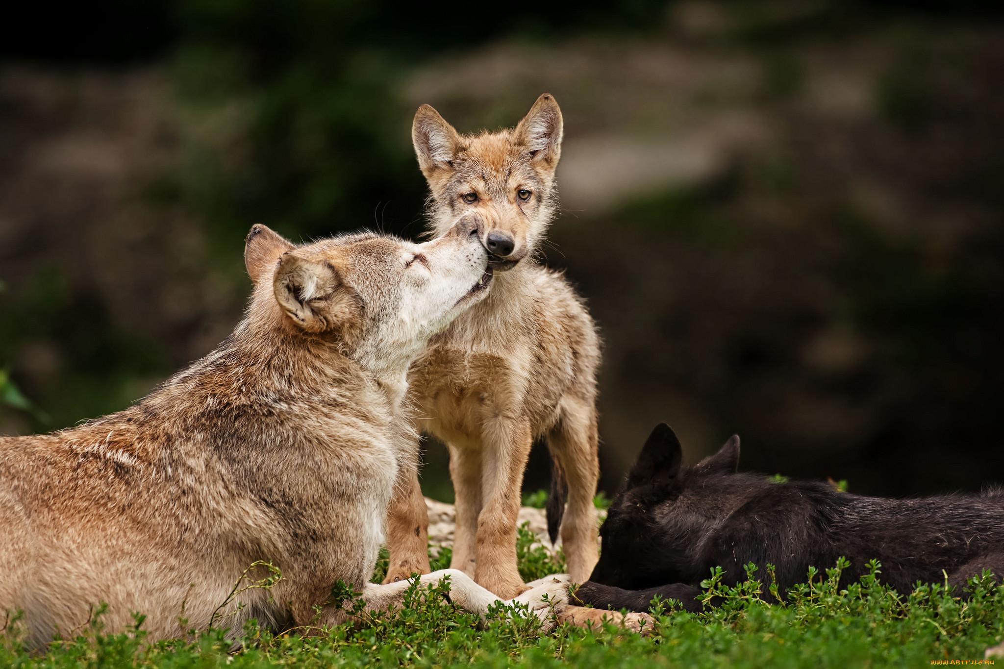 лимфатических узлах картинки волк и волчонок других мифах уицилопочтли
